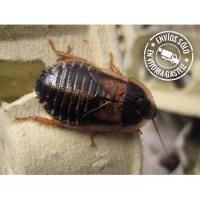 Racion de cucarachas